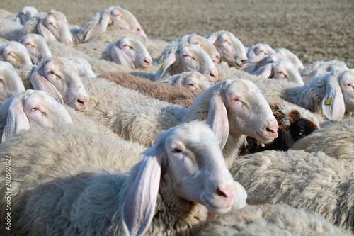 Valokuva Gregge di pecore