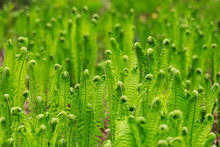 The Ferns In The Spring