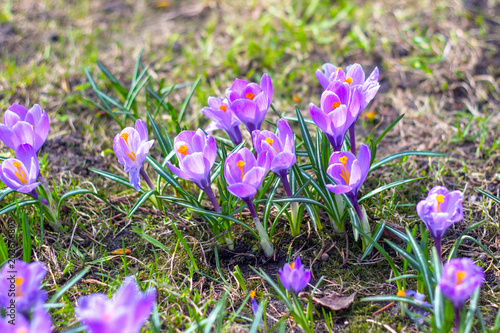 Foto op Aluminium Purper Purple crocuses in the sun