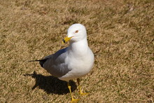 Curious Ring Billed Gull 2