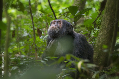 Chimp in Kibale Forest;  Uganda Poster