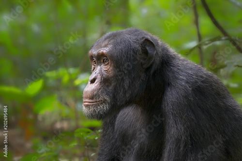 Tableau sur Toile Chimp in Kibale Forest;  Uganda