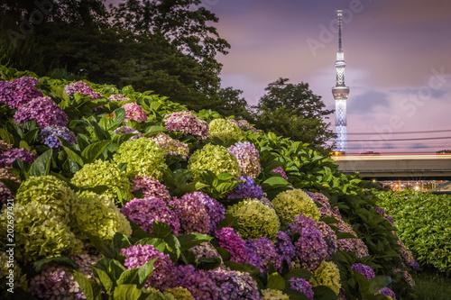 Papiers peints Batiment Urbain Tokyo Skytree and Hydrangea flower in summer season