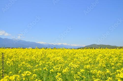 Cuadros en Lienzo 安曇野の菜の花畑