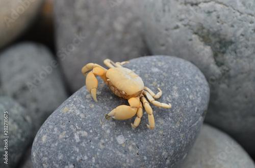 Fotografie, Obraz  A Small crab sits on a pebble
