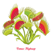 Vector Drawing Of Venus Flytrap Or Dionaea Muscipula With Open And Close Trap In Red And Green Isolated On White Background. Carnivorous Tropical Plant Venus Flytrap In Contour For Botany Design.