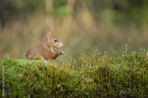 Foto auf AluDibond Eichhornchen squirrel eats a nut and sits in the moss