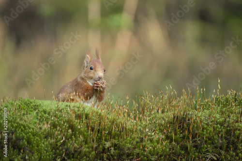 Printed kitchen splashbacks Squirrel squirrel eats a nut and sits in the moss