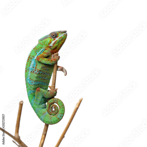 Staande foto Kameleon alive chameleon reptile