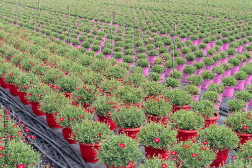 Papiers peints Marguerites Flowers in a greenhouse