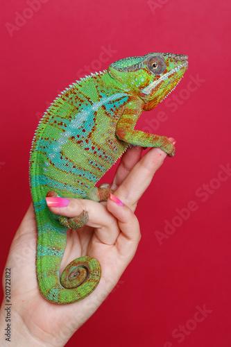 Fototapeta premium alive chameleon reptile