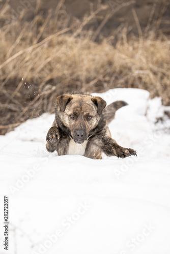 Foto  4267330 Brown mongrel an einem Frühlingstag schleicht sich den Schnee