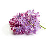 Purple lilac flower on white background