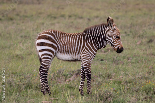 Poster Zebra Cape Mountain Zebra