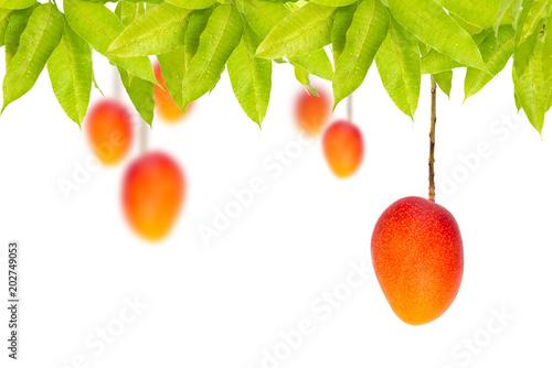 Red Ripe mango hanging on tree isolated white background
