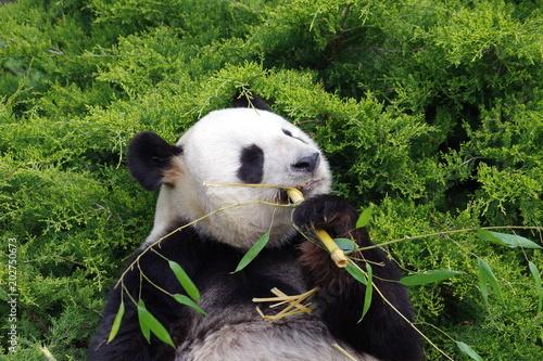 Deurstickers Panda Le repas du panda géant