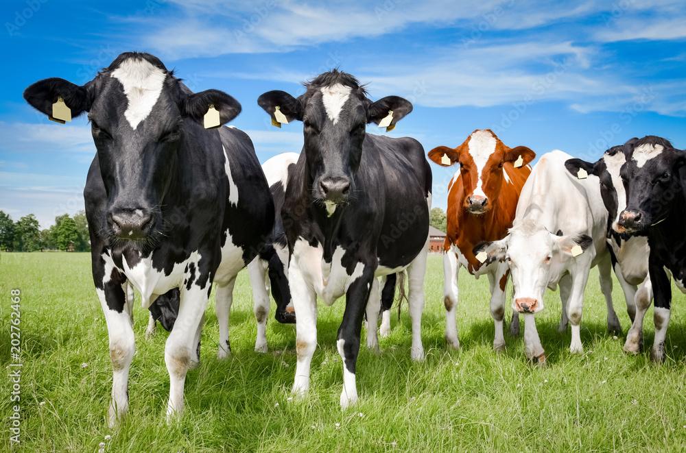 Fototapeta Weidehaltung für Rindvieh - Formation hübscher, junger Kühe auf einer Sommerweide