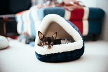 Chihuahua Is Sleeping Comforta...