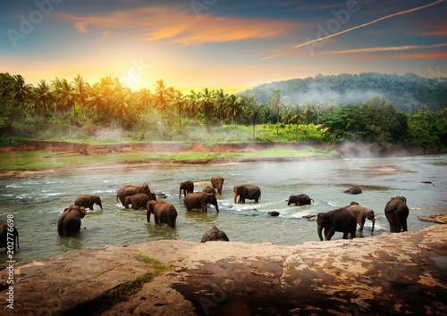 Canvas Print Elephants in Sri Lanka