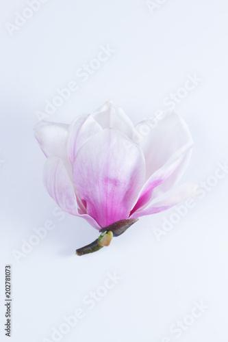 Plakat Kwiaty magnolii