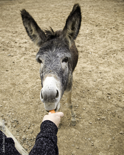 In de dag Ezel Donkey carrots farms
