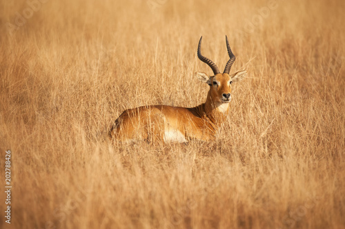 Foto op Canvas Antilope Male Ugandan Kob; QE National Park; Uganda