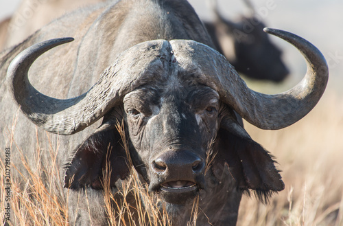Fototapety, obrazy: Cape buffalo, one of the most dangerous African animals.