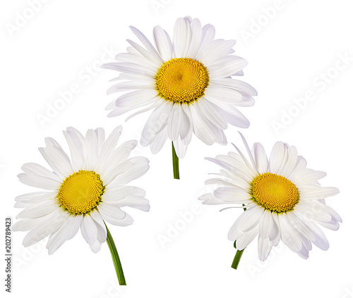Foto op Canvas Madeliefjes chamomile flower isolated with clipping path