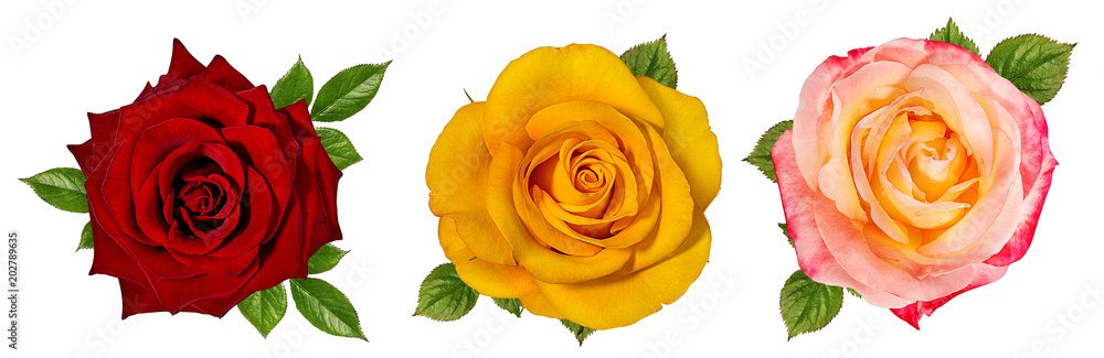 Fototapety, obrazy: rose isolated on white background