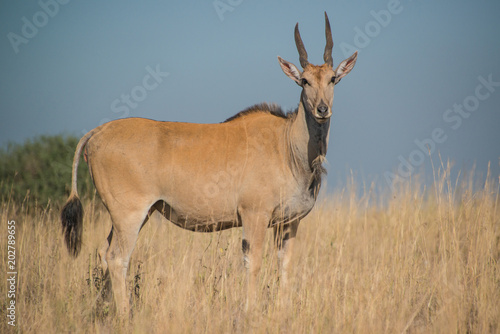 Foto op Canvas Antilope Eland, the largest of the Antelope family