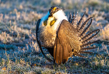 Male Greater Sage-Grouse In Courtship Display At Lek