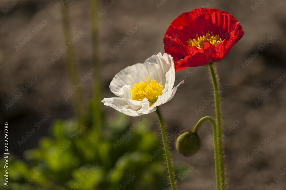 Papaver nudicaule / croceum / miyabeanum / amurense / macounii (Iceland poppy)