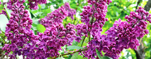 Panorama On A Lilac Bushed. See How The Lilacs Blossom. Flowering Bushes In The Spring. Bushes Of Pink Lilac In The Botanical Garden