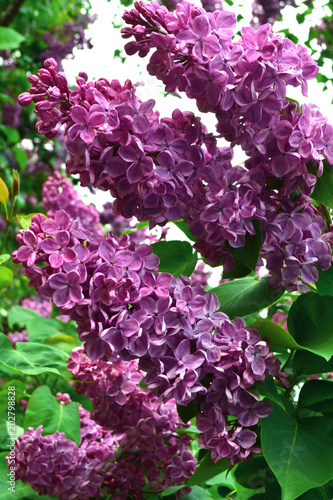 Foto op Canvas Lilac See how the lilacs blossom. Flowering bushes in the spring. Bushes of pink lilac in the Botanical Garden