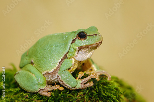 European green tree frog (Hyla arborea formerly Rana arborea) Canvas Print