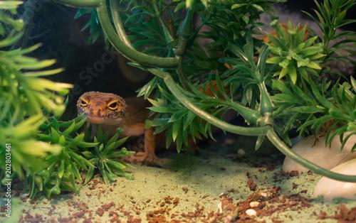 Orange Common Leopard Gecko Hiding In Green Plants In A Terrarium