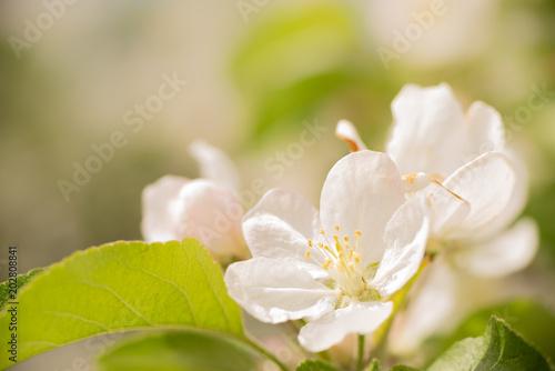 Plakat kwiat jabłoni na wiosnę