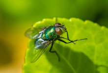 A Close Up Macro Of A Common Housefly
