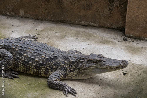 Foto op Aluminium Krokodil crocodile