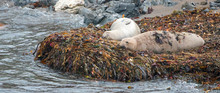 Elephant Seals Resting On Kelp...