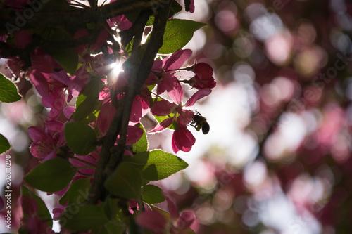 Spring flowering apple-tree #202818298