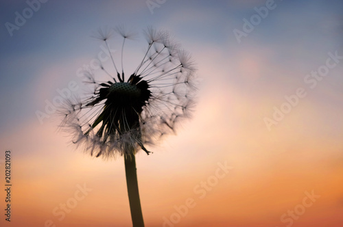 Canvas Prints Dandelion Close up of a dandelion silhouette with seeds in the backlight at sunset