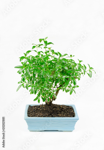 In de dag Bonsai kleiner pre Bonsai, serissa foetida