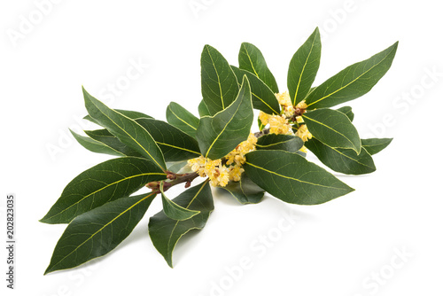 Fototapeta Laurel branch with flowers obraz