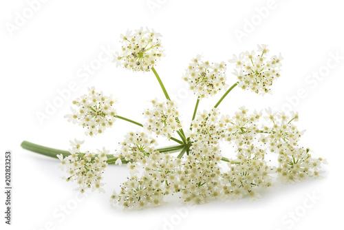 Fotografiet Angelica archangelica flowers