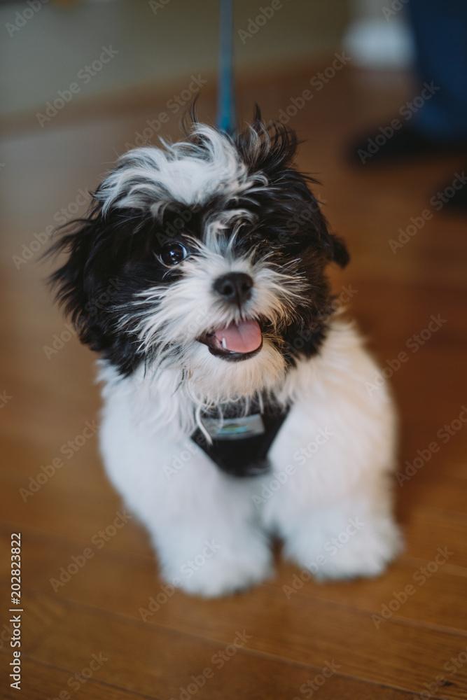 Maltese Shih Tzu Mix Black And White Puppy Foto Poster Wandbilder