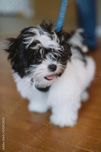 Maltese Shih Tzu Mix Black And White Puppy Buy This Stock Photo