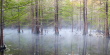 Foggy Swampy Cypress Panoramic...