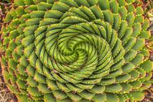 Spiral Aloe - Lesotho Traditio...