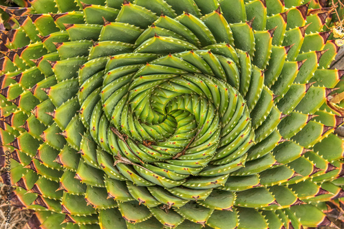 Papiers peints Spirale Spiral Aloe - Lesotho traditional plant